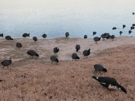 Invasion of the Coots by ScarletRavens