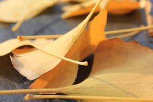 Ginkgo Leaf Wallpapers by dongbear