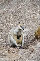 Wallaby :) by Australisa