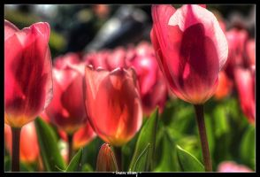 Tulips of Istanbul by dynamick
