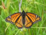 Monarch Butterly 7 by WhisperintheStorm