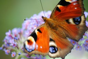 Peacock Butterfly 2 by PennineRosa