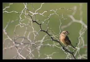 Stonechat by invisiblewl
