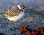 Snowy Plover by WilliamFoley