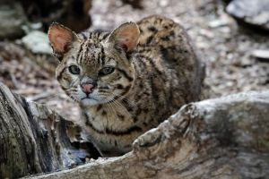 Geoffroy's Cat by SnowPoring