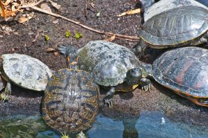 Turtles Basking by terryrunion