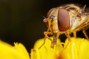 Hoverfly Eating Pollen by dalantech