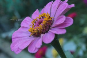 Zinnia Pink by Khrys90