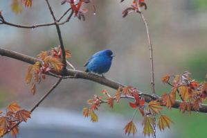 Indigo Bunting by JacobsPhotography1