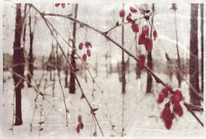 winter barberry by antarctics