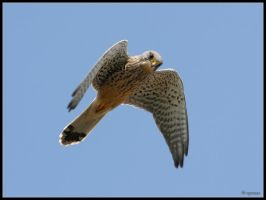 Kestrel Hunting by cycoze