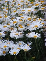 Field Of Daisies by Gracies-Stock