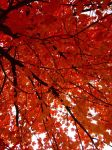Red Leaves by ArtisticMuser
