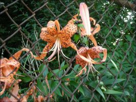 Fenced Spotted Tiger Lillies by EchoRukia