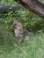Gray Fox 3 by DaybreaksDawn