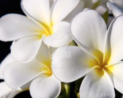 White Frangipani by Questavia