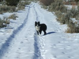 Border Collie 1 .:Stock:. by WesternStock