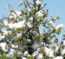 Chaffinches on the apple tree by piglet365