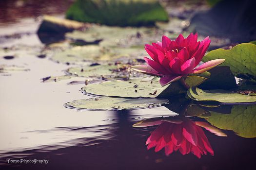 Water Lily by WindyLife