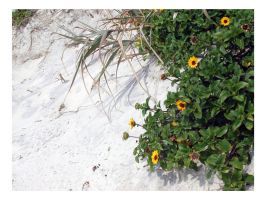 Daisies on the Beach by jensequel