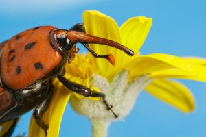 Large Weevil by dalantech