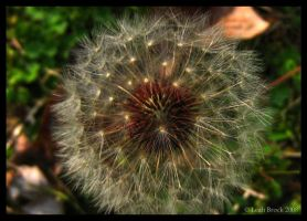 Dandelion HDR by zieora