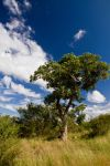 Marula Tree by parallel-pam