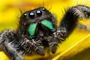 Phidippus audax - mouthparts by abikeOdyssey