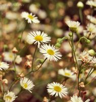 Flowers. by alina0