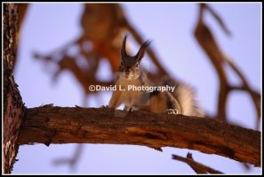 Kaibab Squirrel by DavidLPhotography