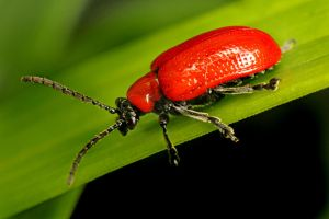 A Red Lily Leaf Beetle 01 by s-kmp