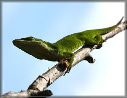 Green Anole 40D0041529 by Cristian-M