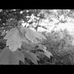 leaves by Melted-Black