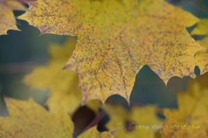 The Yellow Leaf by Baary