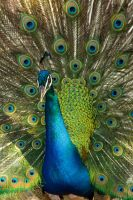 peacock by houssam6464