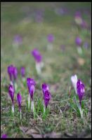 Crocus 5 by restive-wench