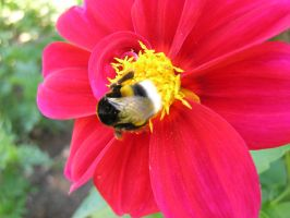 Bumble-bee by MyFlower06