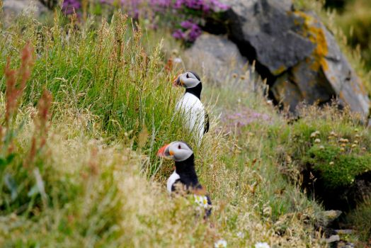 Two puffins. Cute and close by thekittygoesMEEP