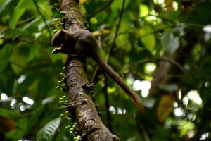 Malaysian Squirrel by DavidGrieninger