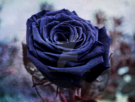 Dark Rose by Seralunai