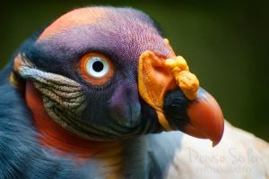 King Vulture by DeniseSoden
