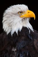 Bald Eagle Portrait by darkSoul4Life