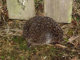 Prickly visitor this evening by D1scipl31974