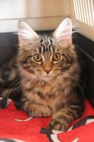 Hi I am a little Main Coon by 16Andie16