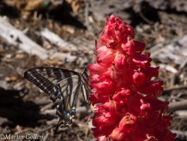Burton Creek butterfly and snowplant140607-23 by MartinGollery