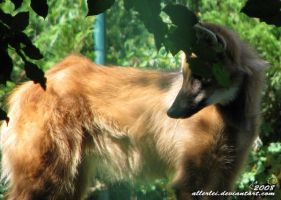 Maned wolf: Ruddy beauty by Allerlei