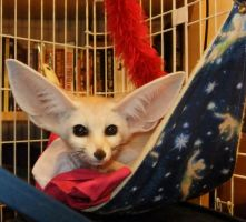 Fennec in a hammock by Corsacfoxes