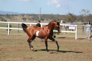 Pinto arab trot arched Neck by xxMysteryStockxx