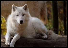 wolf: hey beauty by morho