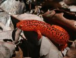Red Salamander XT0004828 by Cristian-M
